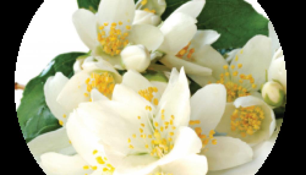 Jasmine-Honeysuckle